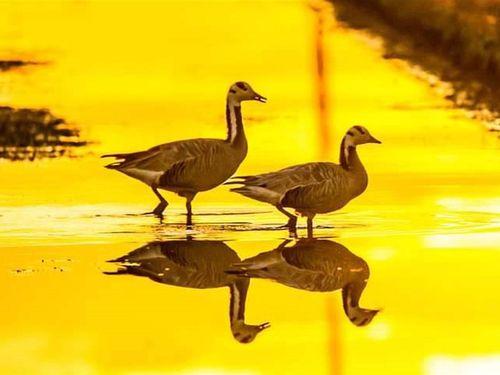 台湾にインドガン現れる 珍客に愛鳥家、大喜び!
