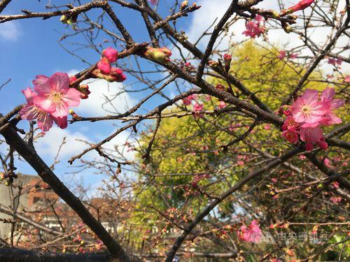 北部・桃園市内、カンヒザクラが開花