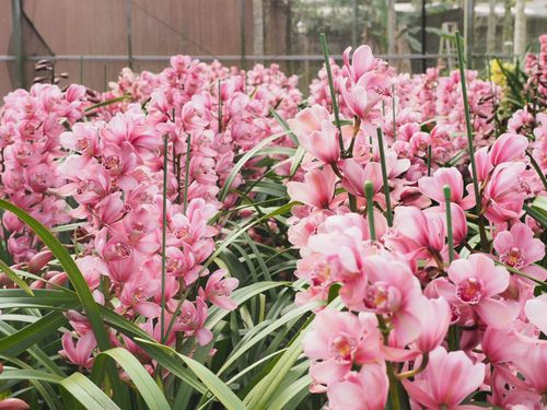 縁起のいい蘭の花、春節にぴったり