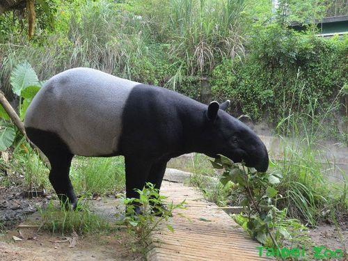 出産ラッシュの台北市立動物園、マレーバクの妊娠発表