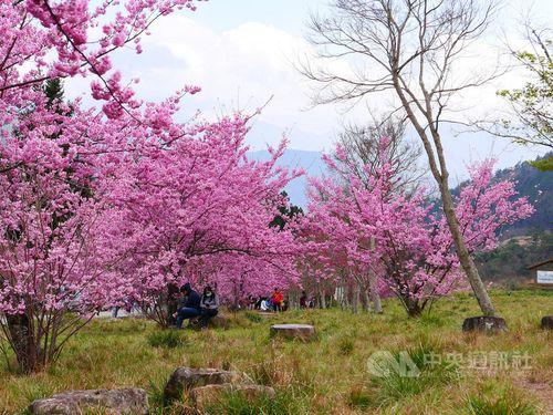 武陵農場の桜フェスティバル終了 花見客、前年比3割増