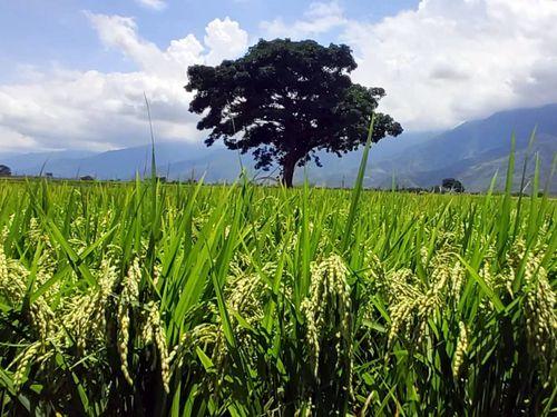 ずっしりと頭を垂れる稲穂に農家から喜びの声 「干ばつ対策に成功した」