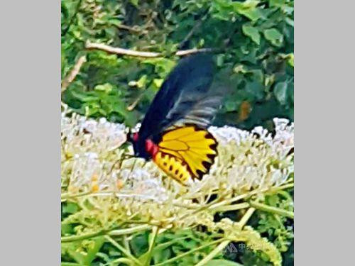 絶滅が懸念される美しいチョウ、復活プロジェクトに成果