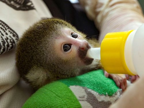 育児放棄から保護、ボリビアリスザルの赤ちゃん 元気に成長