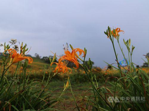 オレンジ色のシーズン 花蓮でウコンカンゾウがまもなく見頃