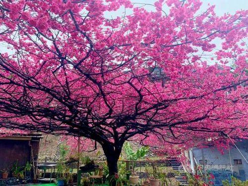 病気で枯れていく桜の王様、2代目はすくすく