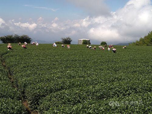お茶がおいしい阿里山、秋の茶摘みシーズン到来