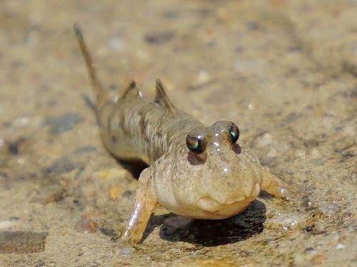 香山湿地でトビハゼが〝婚活中〞 ピョンピョン動く