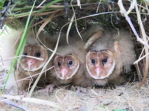 可愛く見えるミナミメンフクロウ、実はれっきとした猛禽類 ネズミ退治の達人