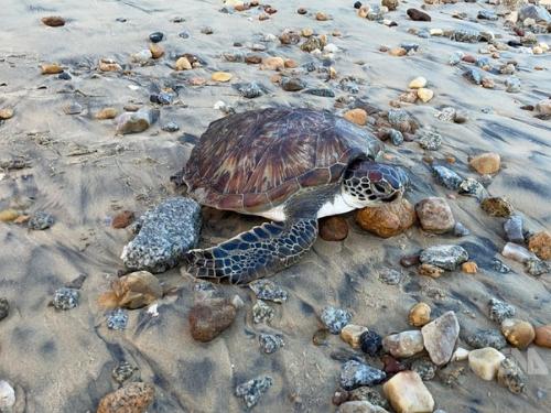 漁網に引っかかったウミガメ、無事救出