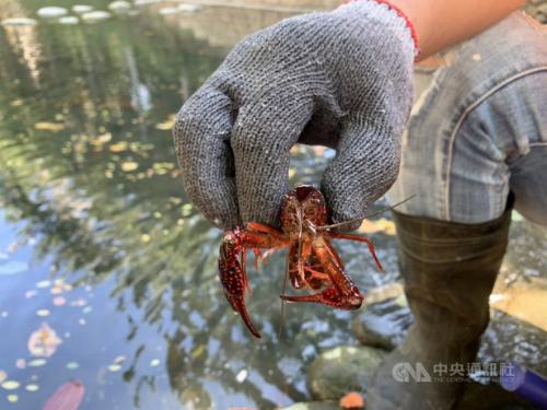 新竹市の親水公園でアメリカザリガニの捕獲作戦 5日で3000匹以上