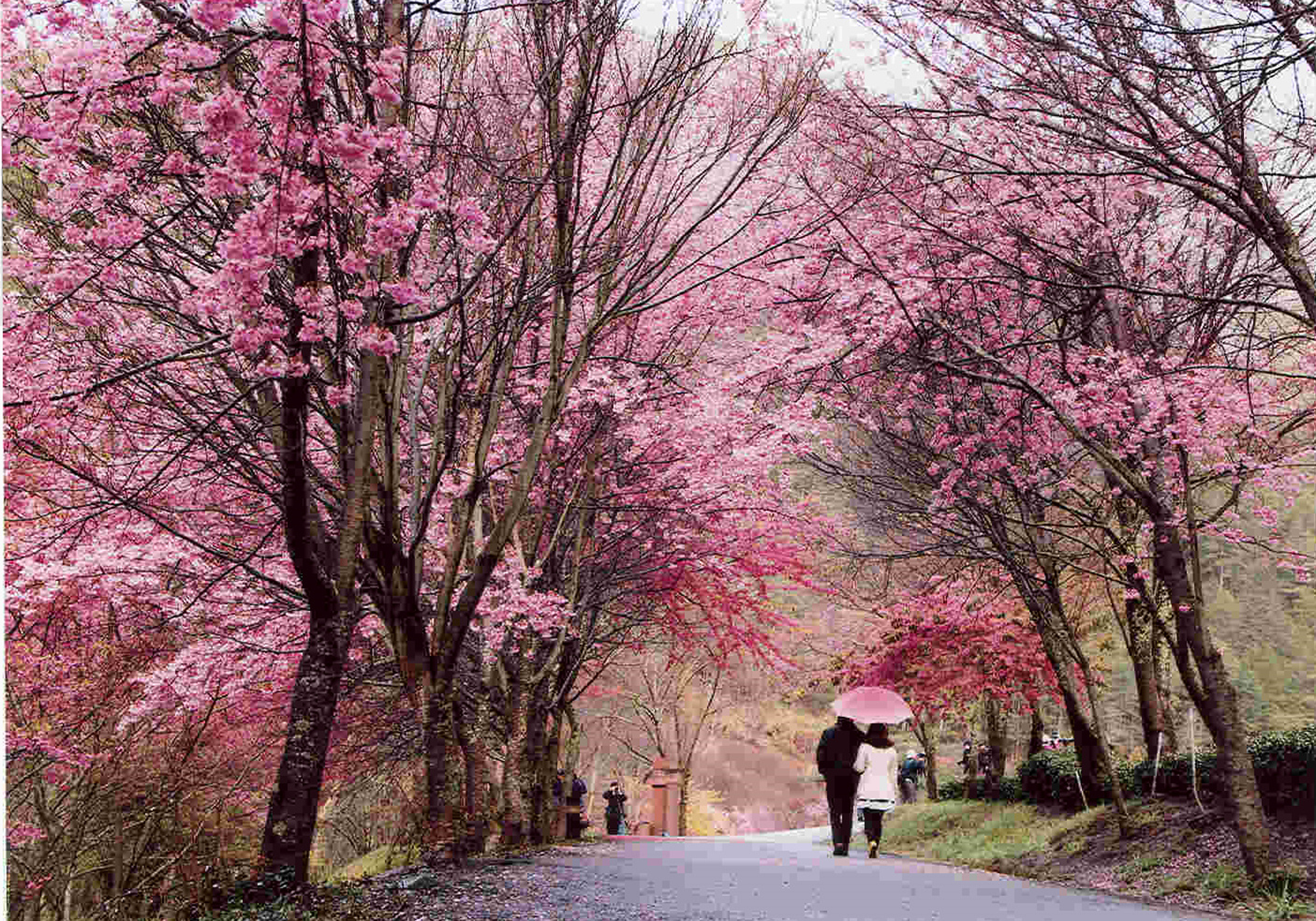 (Cherry blossoms on Wuling Farm; photo courtesy of the Directorate 