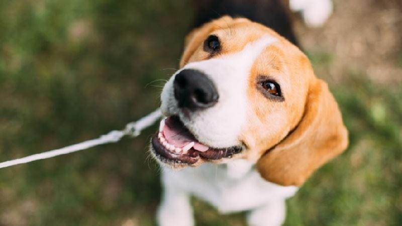 美國微生物學會網路雜誌5日發表調查研究指出,在中國大陸廣西,豬流感病毒H1N1已傳播到犬隻身上,在狗的體內與其他病毒基因發生重組。專家指出,這可能給人類造成風險。圖為示意圖。(圖取自美國微生物學會網頁www.asm.org)