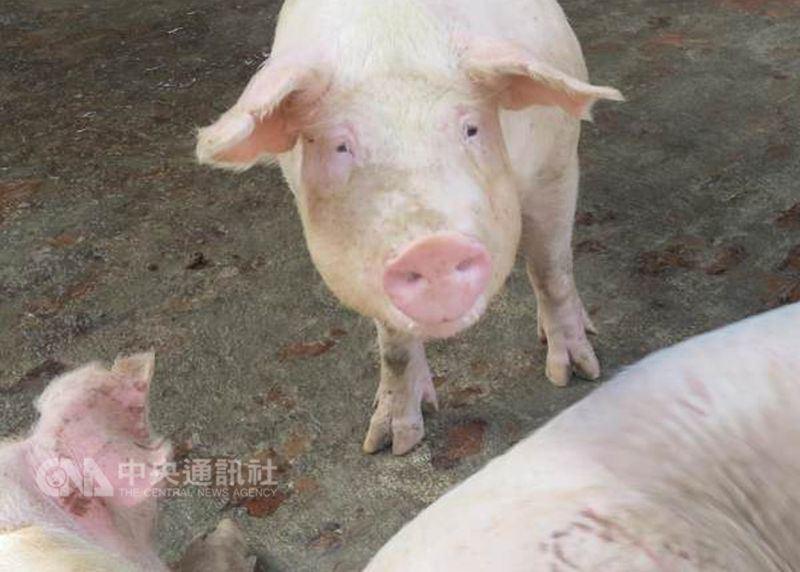 近來中國發生非洲豬瘟疫情,農委會副主委黃金城說,由於中國大陸人員可能讓病毒沾黏,因此在7月之前為因應口蹄疫拔針,已通令國內的畜牧場、觀光牧場,全面禁止陸客進入參觀。圖為示意圖。(中央社檔案照片)