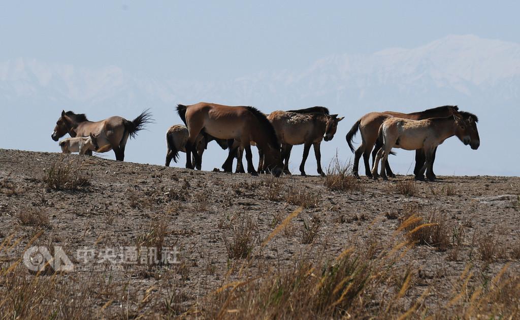 中新網5日報導,中國野馬數量占全世界野馬總量的1/4,成為世界最多的野馬擁有國。其中,原產於新疆準噶爾盆地北塔山和甘肅、內蒙古交界馬鬃山一帶的普氏野馬(圖),有著6000萬年的進化史。(中新社提供)中央社 107年11月6日