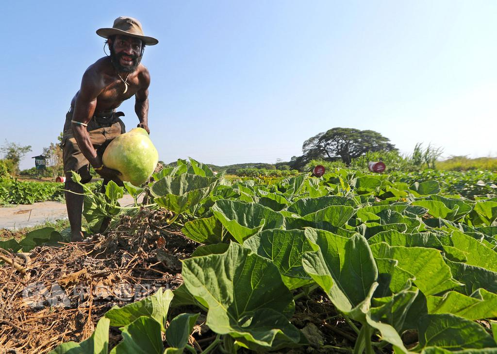 台灣技術團與巴紐農業試驗所合作,開闢2公頃農地,種植多種蔬菜做為示範農地,一年約開12梯次課程,一次教20、30人。課程結束後,還會依農民所住地區特性贈送適合栽種的蔬菜種子,其中也包括當地較難取得的西瓜、甜玉米等。中央社記者裴禛莫士比港攝 107年11月15日