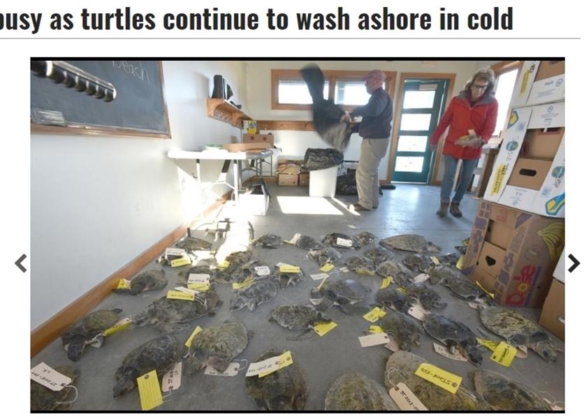 美國麻州鱈角沿岸近日有多達227隻海龜遭沖上岸。(圖取自鱈角時報網頁capecodtimes.com)