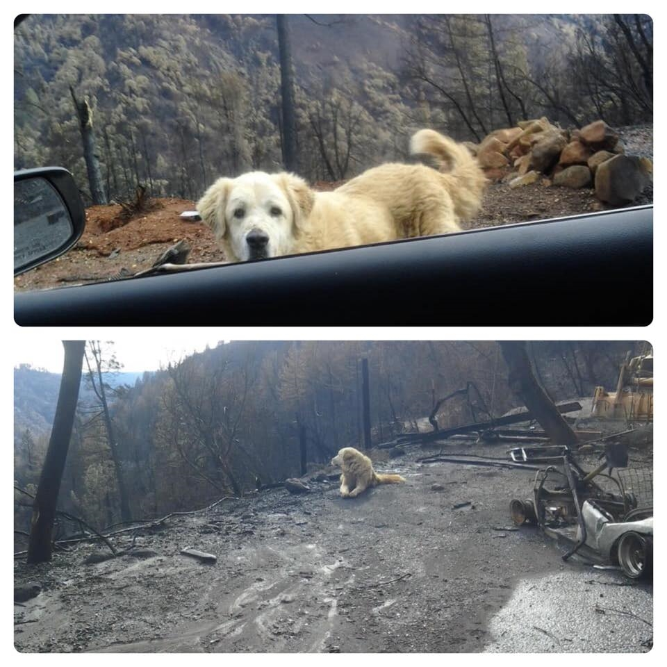 美國北加州11月爆發災難性野火,安那托利亞牧羊犬麥迪遜逃過死劫,仍在守候已燒成廢墟的家園,等待主人歸來。(圖取自www.facebook.com/K9PawPrintRescue)
