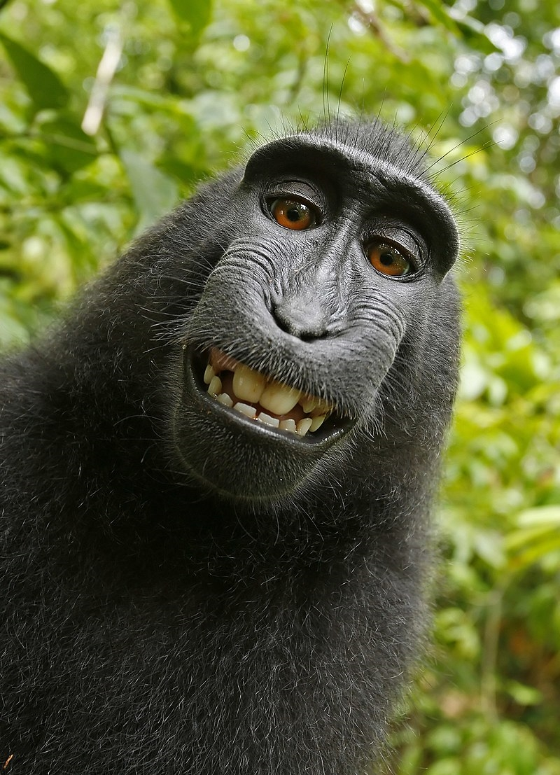 一隻黑冠獼猴拿野外攝影師相機自拍。4月加州法院裁定,這隻猴子不能為自拍照爭取版權。(圖取自維基共享資源,版權屬公有領域)