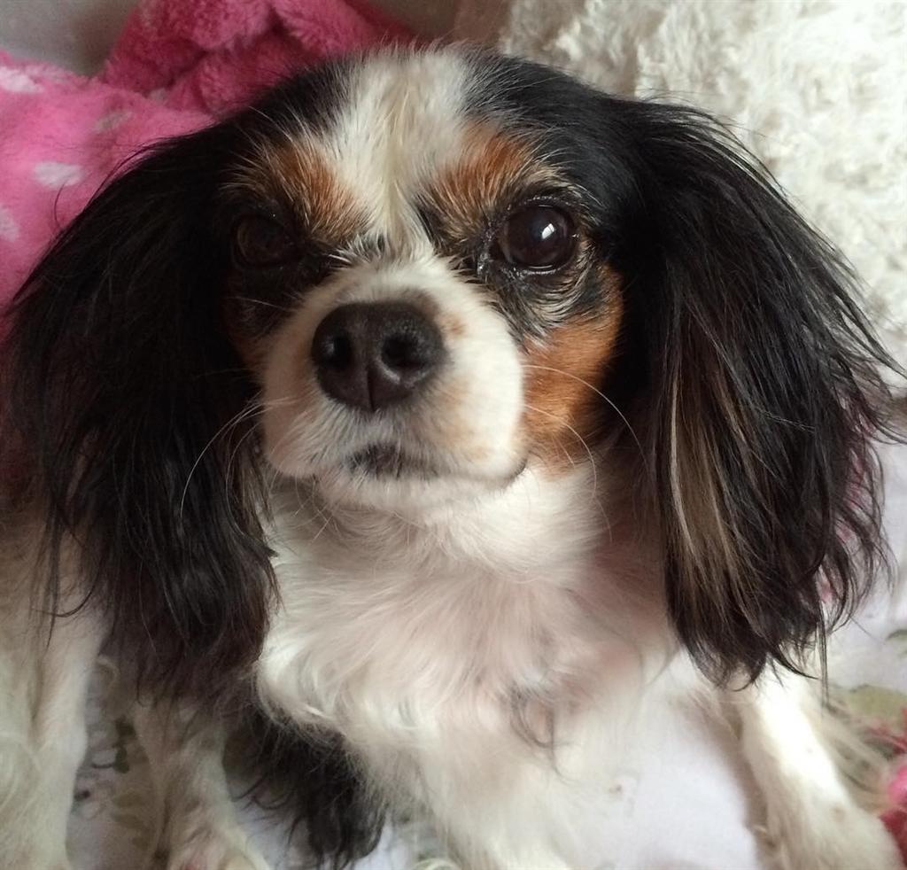 英國2019年將推動立法禁止寵物店出售未滿6個月大的幼貓和幼犬。圖為名叫露西的騎士查理王小獵犬,露西法就是以牠為名。(圖取自Instagram網頁www.instagram.com/lucytherescuecavalier)