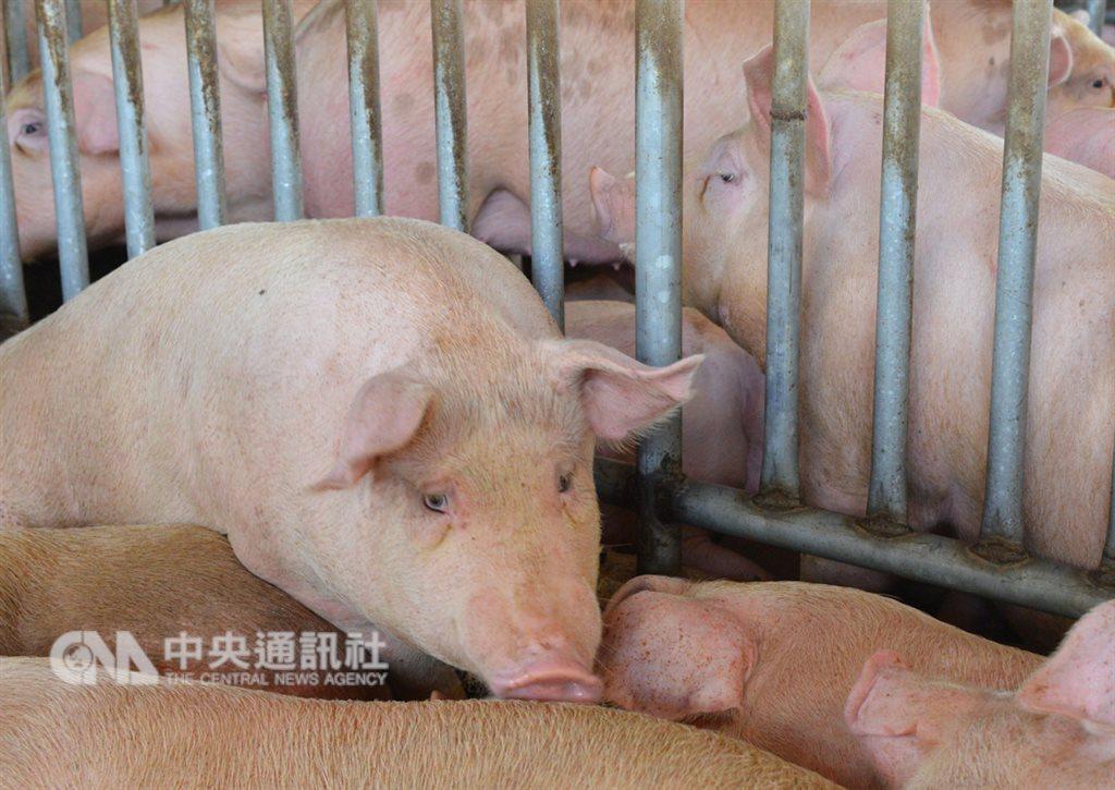 防範非洲豬瘟,花蓮縣政府10日宣布開始禁用廚餘飼養豬隻。(中央社檔案照片)