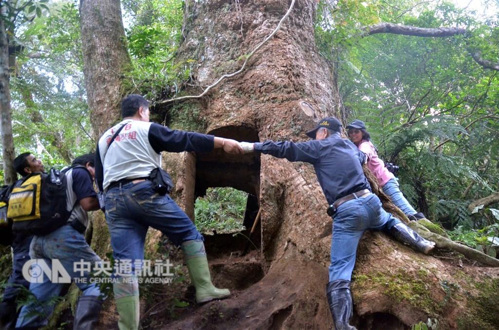 中研院日前成功將台灣國寶級喬木「牛樟」的基因體定序解碼,釐清演化地位,研究成果可望強化牛樟復育。圖為一度遭山老鼠覬覦的台東利嘉林道千年牛樟古木。(中央社檔案照片)