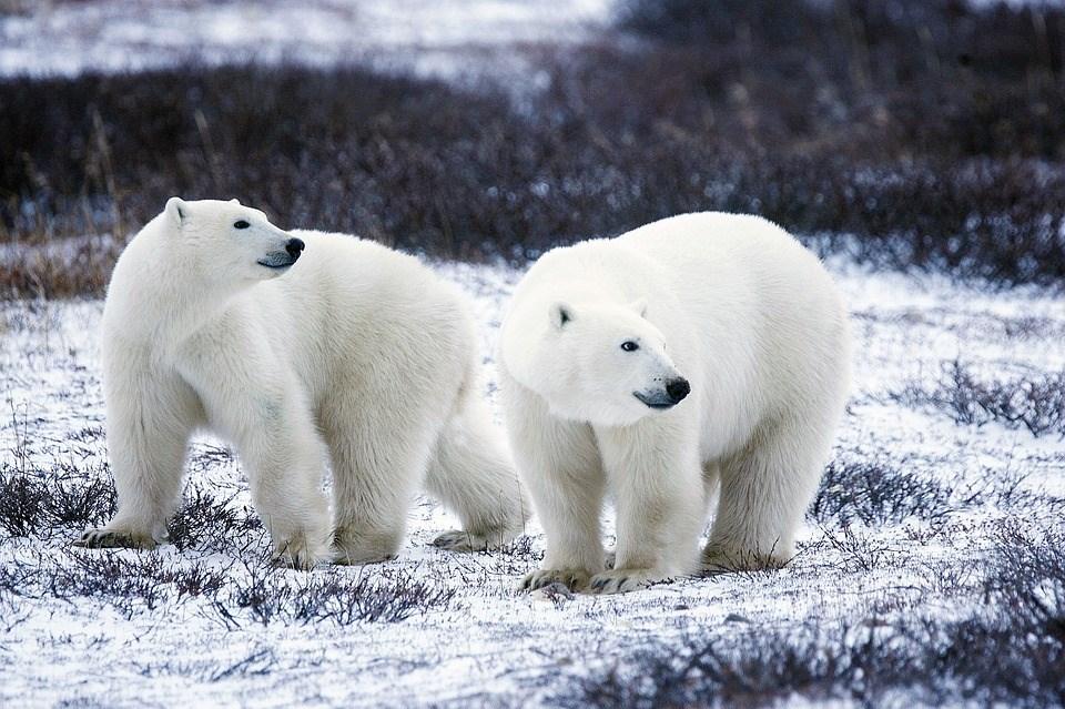 位於北極海的俄羅斯新地島當局10日宣布進入緊急狀態,以因應數十頭北極熊「入侵」住家和公共建築物。(圖取自Pixabay圖庫)