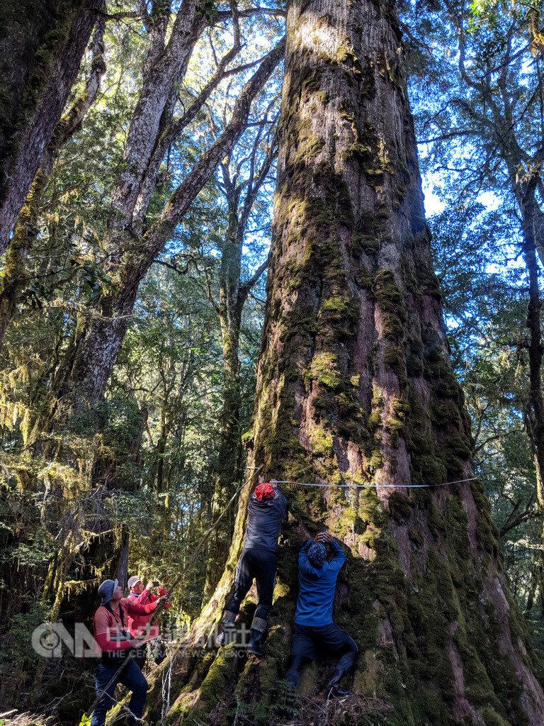 行政院農業委員會林業試驗所研究員深入中央山脈,在清八通關古道東段發現一處原始「巨木森林」,其中3棵樹高達63、64公尺左右,約20層樓高,一棵是雲杉,另兩棵為台灣杉,研究人員進行測量台灣杉樹圍。(徐嘉君提供)中央社記者李先鳳傳真 108年2月20日