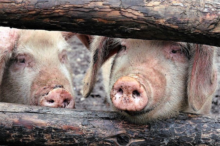 越南在興安和太平2個省份發現感染非洲豬瘟病毒,成為下一個淪陷疫情國家。圖為示意圖。(圖取自Pixabay圖庫)