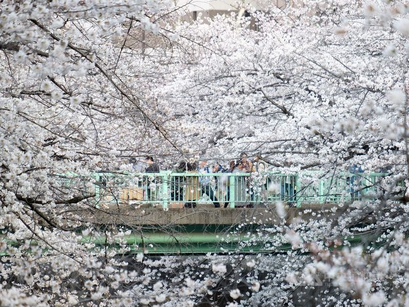 日本賞櫻季將至,根據民間氣象公司等公布最新預測,東京都內可能在21日開花。(中央社檔案照片)