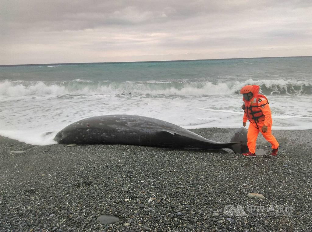花蓮立霧溪口北岸海灘15日下午發現一頭鯨豚擱淺,岸巡人員初步查看鯨豚尾鰭仍在擺動,但有明顯外傷,已聯絡中華鯨豚協會派員前往協助處理。(第一二岸巡隊提供)中央社記者李先鳳傳真 108年3月15日