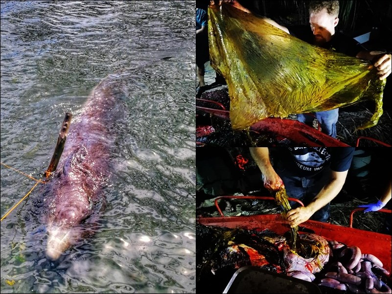 一頭年輕雄性柯氏喙鯨15日在菲律賓南部海岸擱淺,「大骨收集者」博物館人員將鯨帶回解剖,發現牠的胃裡有40公斤的塑膠袋。(圖取自大骨收集者臉書facebook.com)