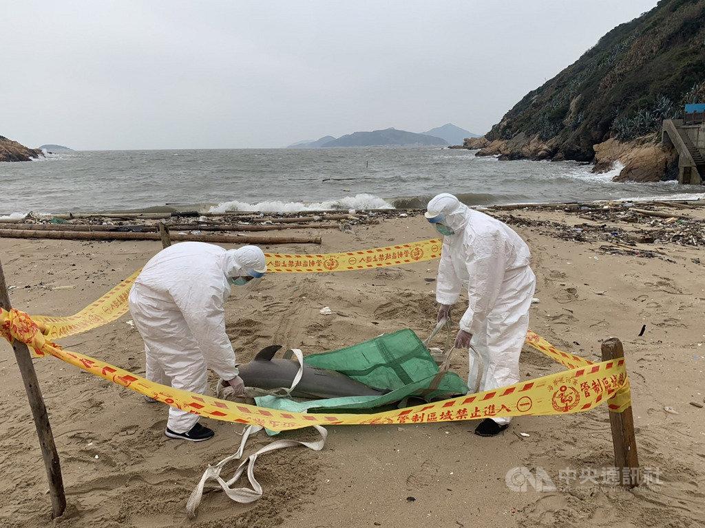 海巡署金馬澎分署岸巡隊24日上午在南竿復興灘岸發現一隻死亡海豚,在拍照存證後,隨即將海豚屍體就地掩埋。(馬祖岸巡隊提供)中央社 108年3月24日