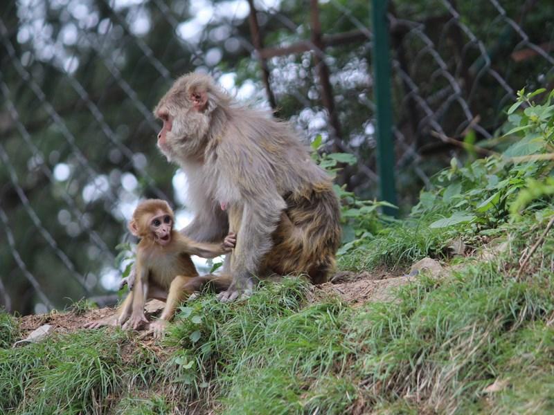 中國科學家於學術期刊「國家科學評論」發表培育出11隻攜有人類基因的恒河猴,在國際間引發倫理爭議。(示意圖/圖取自Pixabay圖庫)