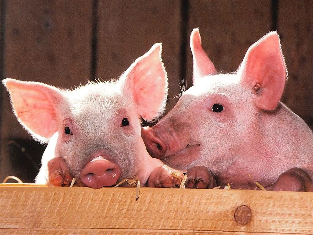 科學家成功在豬隻死亡後,恢復豬腦細胞功能。這項研究顯示細胞在腦部死亡過程時間較以往所想的還要長。(示意圖/圖取自Pixabay圖庫)