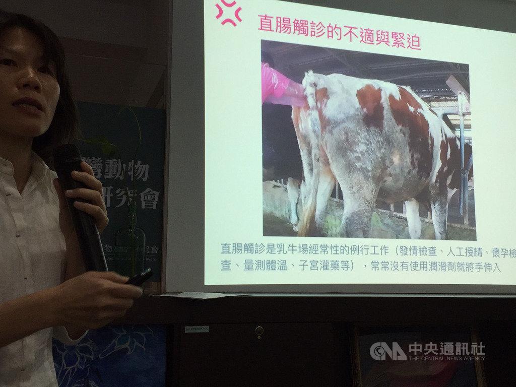 台灣動物社會研究會18日公布台灣乳牛面臨5大痛苦指標調查結果,拍攝到有業者為了確認乳牛是否懷孕進行直腸觸診時,不僅沒用潤滑劑,竟撿地上糞便替代塞入。中央社記者楊淑閔攝  108年4月18日