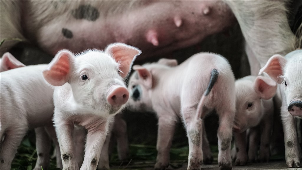 日本政府為防範非洲豬瘟,對旅客攜帶肉品入境祭出重罰。(示意圖/圖取自Unsplash圖庫)