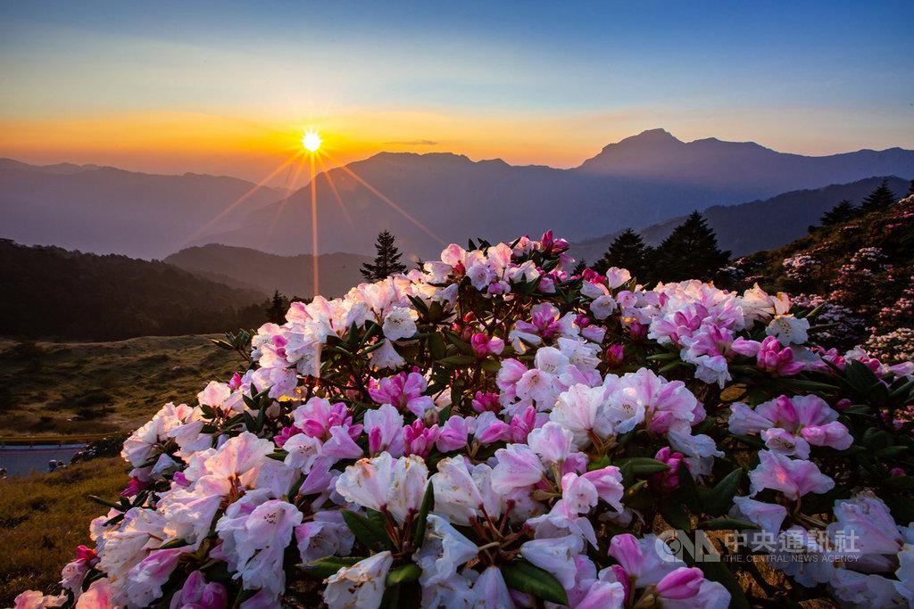 疑受到氣候影響,合歡山高山杜鵑今年提早綻放,且盛開花況為近年罕見,雄偉山景襯托美麗花朵,呈現剛柔並濟美感。(曾宇辰提供)中央社記者蕭博陽南投縣傳真 108年4月25日