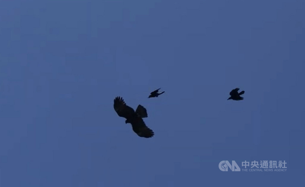 嘉義縣梅山鄉瑞峰山區25日上演一齣「雙鴉戰老鷹」的戲碼,一隻老鷹疑似飛過一對烏鴉的「地盤」,被2隻烏鴉追趕,最後老鷹落荒而逃。(賴俊謀提供)中央社記者江俊亮傳真 108年4月26日