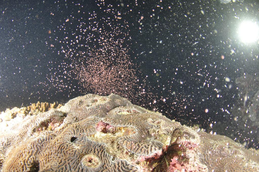中研院生物多樣性研究中心25日進駐台東縣成功鎮,進行基翬海岸珊瑚礁群聚長期生態研究,首次記錄到東海岸珊瑚礁集體產卵的壯觀景象。(郭兆揚提供)中央社記者吳欣紜傳真 108年4月29日