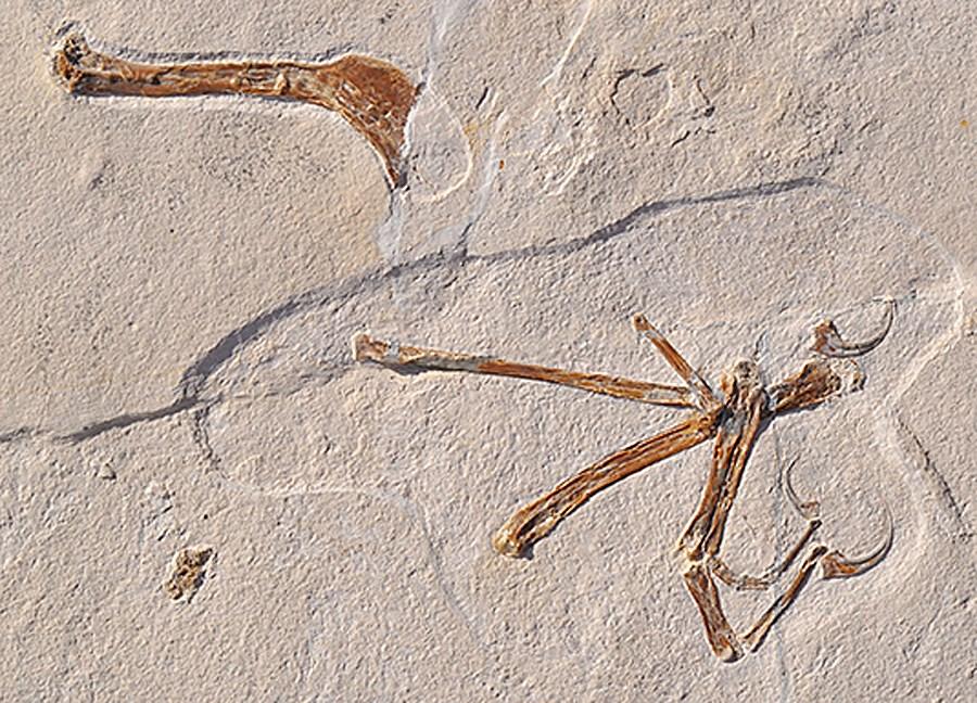 德國古生物學家發現一個新的飛行恐龍物種Alcmonavis poeschli,稱牠是「從侏羅紀發現最像鳥類的恐龍」。(圖取自盧特維格-麥西米連大學網頁www.en.uni-muenchen.de)