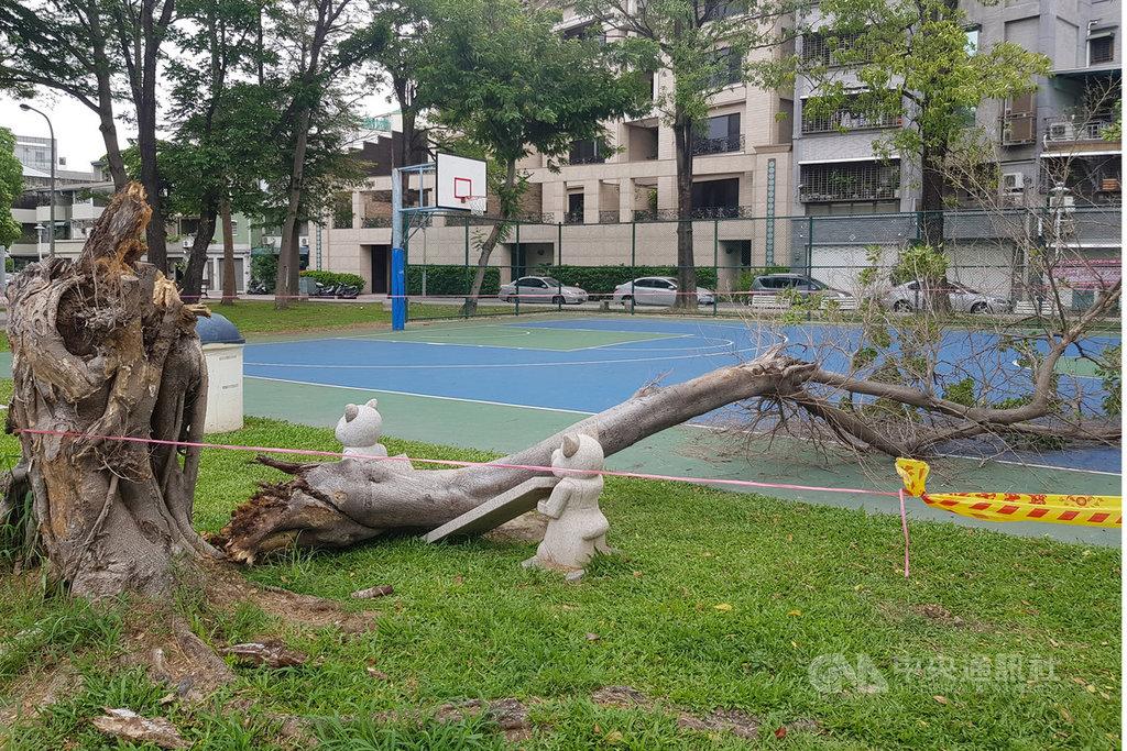 台南市北區振興公園籃球場旁的1棵榕樹18日上午不明原因突然折斷傾倒,2名高中學生當時正在一旁打球,閃避不及,遭樹幹砸中受傷,所幸並無生命危險。中央社記者楊思瑞攝 108年5月18日