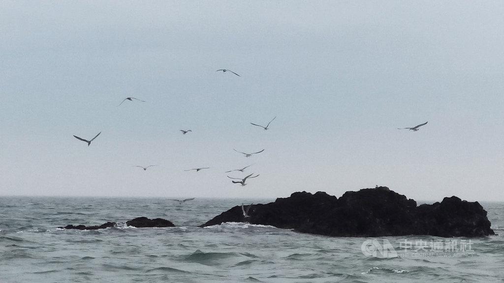 馬祖漁民出海作業時在無人島礁附近發現大鳳頭燕鷗先遣部隊在海面搶食小魚,至於會選擇在哪個保護區島礁落腳,尚待觀察。(漁民邱靜智提供)中央社  108年5月19日