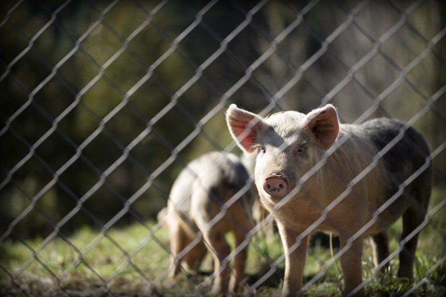 非洲豬瘟疫情爆發後各國大量撲殺病豬,使得豬肉價格飆升至前所未有的新高價。(示意圖/圖取自Unsplash圖庫)