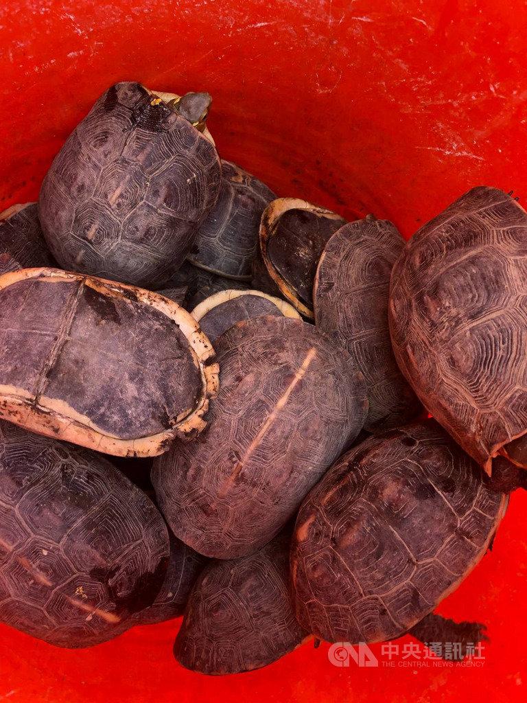 台南「春吉8」漁船21日報關出安平港時,因船長神色有異,船艙內部還有網具,安檢人員搜檢發現2名企圖偷渡男女,並搜出215隻保育類動物食蛇龜,依法送辦。(海巡署第一一岸巡隊提供)中央社記者張榮祥台南傳真  108年5月24日