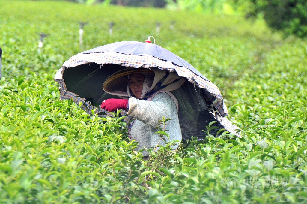總統蔡英文30日在台東表示,政府準備擬訂農民退休制度,讓農民除了享有老農津貼,將來退休後,也可以領退休金。中央社記者盧太城台東攝 108年6月30日