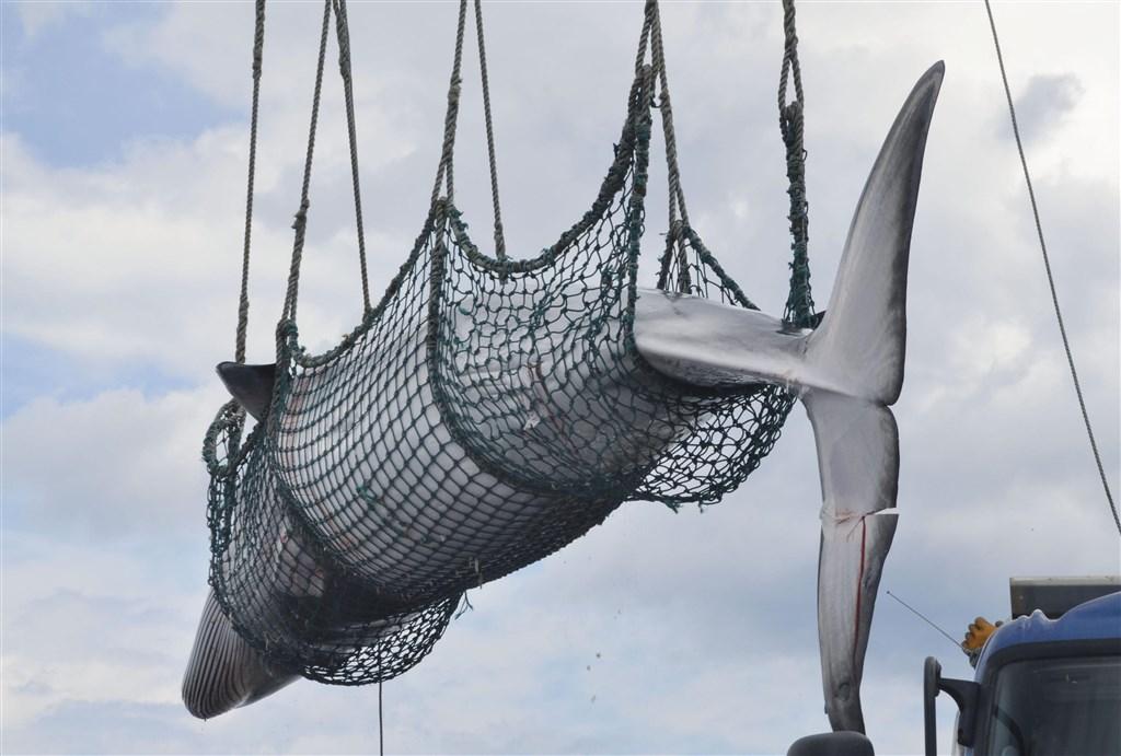 日本將於7月1日退出國際捕鯨委員會,並恢復商業捕鯨。(檔案照片/共同社提供)