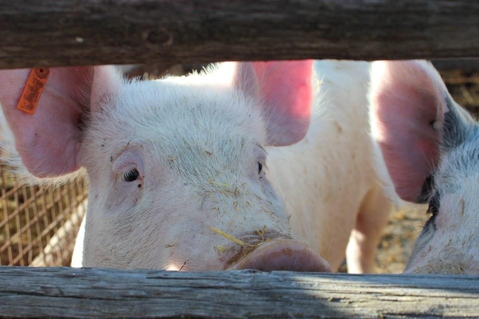 越南非洲豬瘟疫情持續升溫,全國僅剩寧順省未淪陷。(示意圖/圖取自Pixabay圖庫)