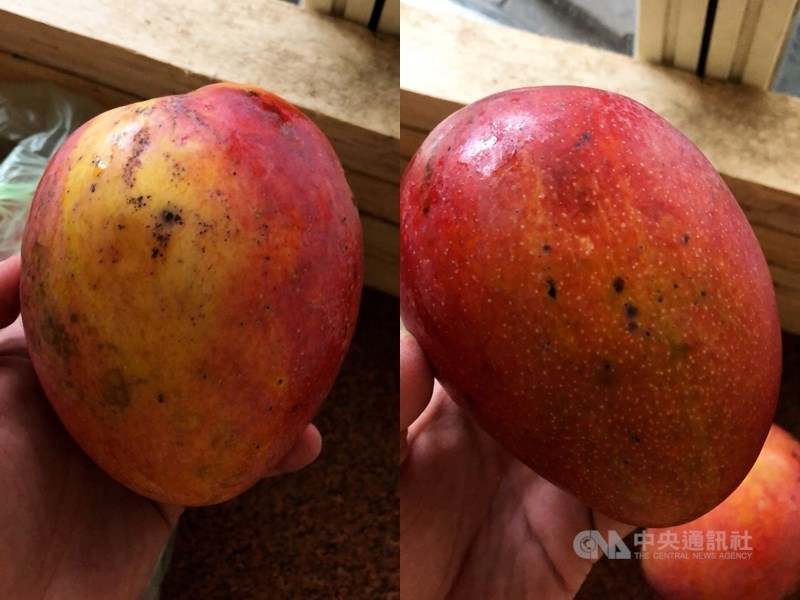 台南市農業局14日表示,芒果的黑點是病原真菌或細菌危害表徵,這類病菌不會感染人體,只要把有黑點部分切掉就能食用,對人體不會造成影響也沒有安全疑慮。(中央社)