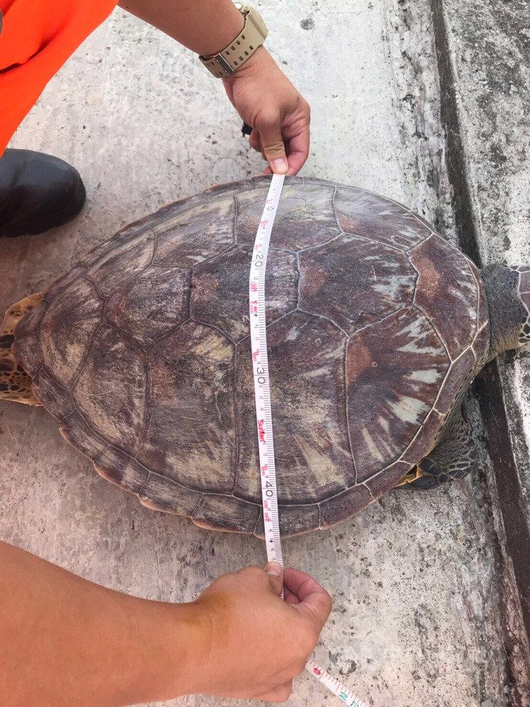 海巡署北部分署第八岸巡隊15日接獲船隻通報,在淡水河打撈到死亡綠蠵龜,經初步勘驗,死亡綠蠵龜身上無明顯外傷,根據龜甲研判,該綠蠵龜還是隻「青少年」,後續將透過病理解剖確認死因。(第八岸巡隊提供)中央社記者葉臻傳真 108年7月15日